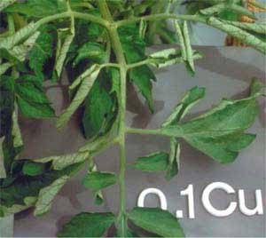 علائم کمبود سولفات مس بنیفر در گیاهان