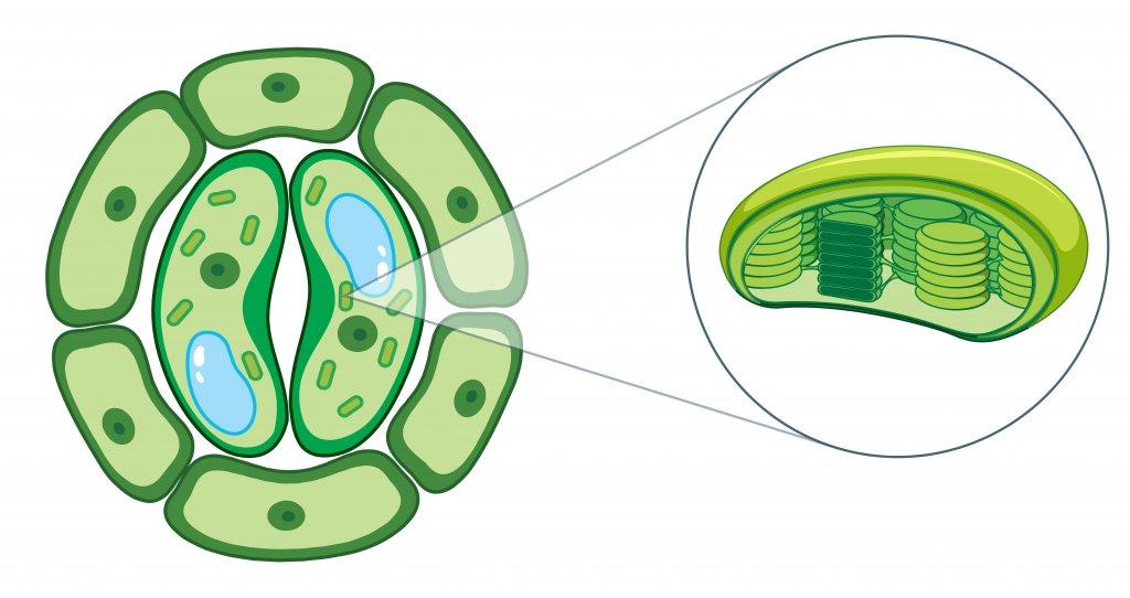 نقش کود مایع آمینو اسید در فتوسنتز