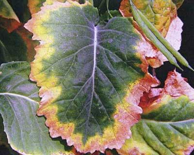 علائم کمبود پتاسیم در گیاهان