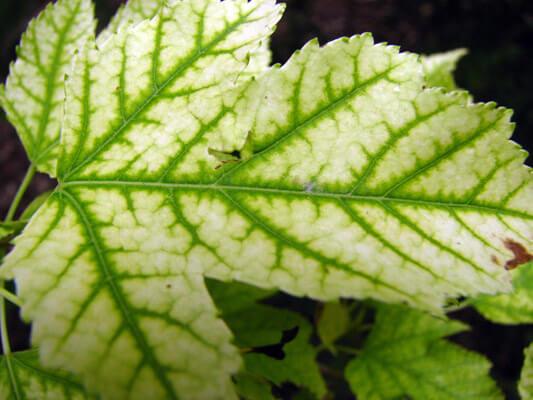 علائم کمبود سولفات آهن در گیاهان