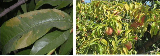 علائم کمبود پتاسیم در گیاهان و درختان
