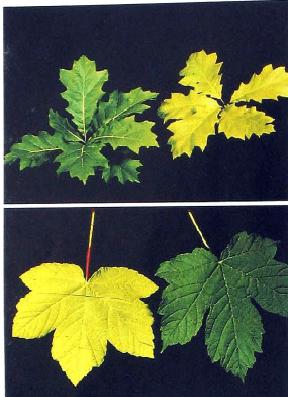 علائم کمبود نیتروزن(کود NPK 30.10.10 + TE) در گیاهان