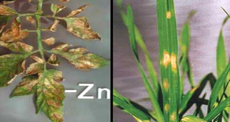 علائم کمبود سولفات روی در گیاهان مختلف