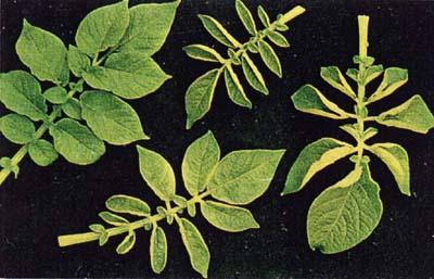 نتیجه کمبود عنصر روی در گیاهان