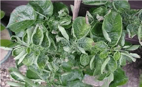 علائم کمبود عنصر روی در گیاهان
