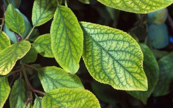 علائم کمبود آهن در گیاهان